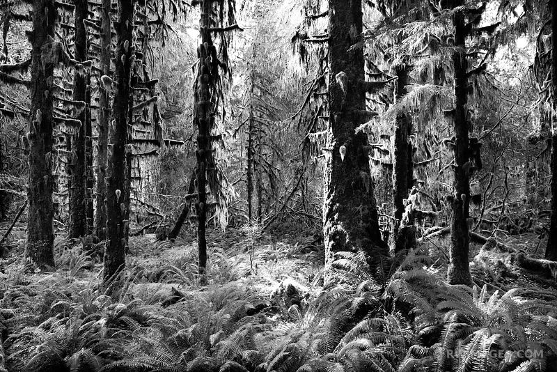 HOH RAINFOREST OLYMPIC NATIONAL PARK BLACK AND WHITE