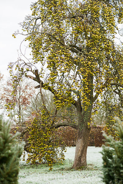 Old perry pear laden with fruit.
