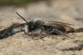 andrena ventralis, male at Durmplassen, Merendree