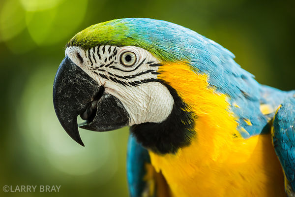 Blue and gold macaw in an aviary in, Cartagena, Colombia, South America