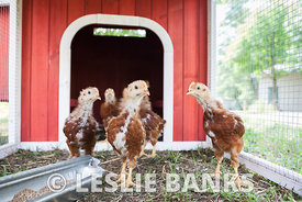 Baby Chickens in a Coop
