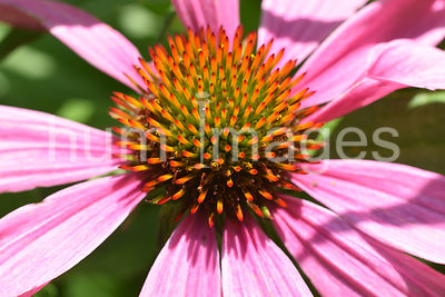 Flower Stock Photos: Pink Coneflower close up