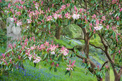 Rhododendron (Loderi Group) 'Loderi King George' with carpets of bluebells in the Dell.