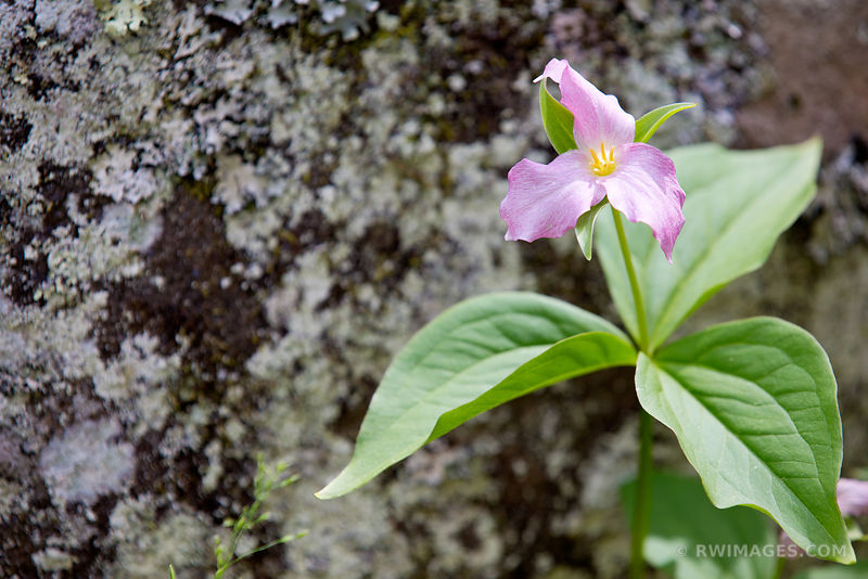 PINK TRILLIUM SPRING FLOWER SMOKY MOUNTAINS COLOR