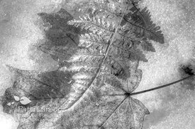Fern on Oak Leaf in the Snow (Black & White)