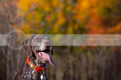 brown ticked dog with tongue with autumn bokeh leaves