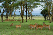 Impala (Aepyceros melampus) between the yellow fever trees, Lake Nakuru National Park, Kenya