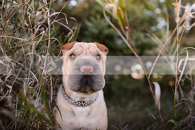 sweet tan sharpei dog staring from dried grasses