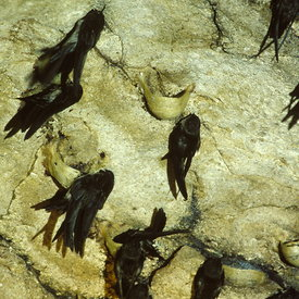 Swiftlets nesting