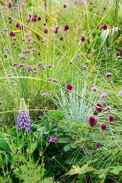 Helictotrichon sempervirens and Allium sphaerocephalon amongst Verbena bonariensis, grasses and lupins.