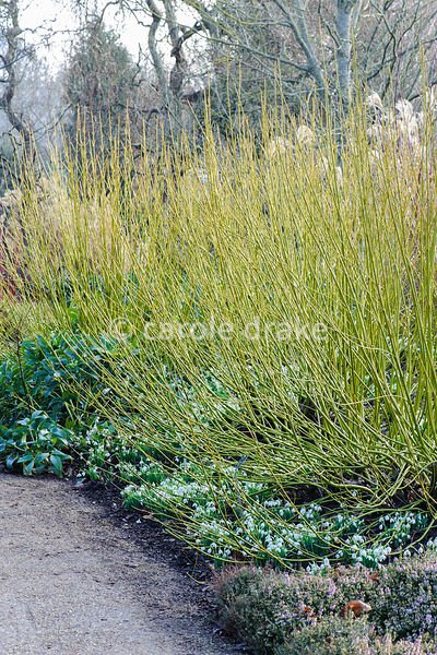 Cornus sericea 'Flaviramea' underplanted with snowdrops. Sir Harold Hillier Gardens, Ampfield, Romsey, Hants, UK