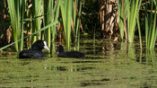 Eurasian Coot with young facing mom in reedlands