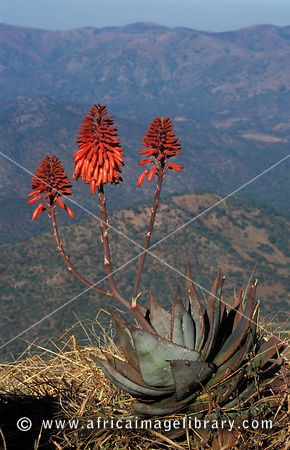 Aloe, Nyika National Park, Malawi