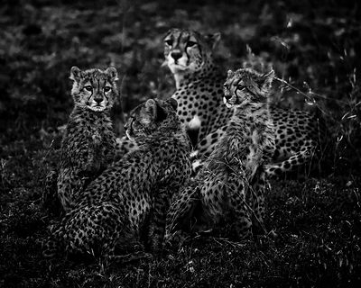 Cheetah cubs with mother, Kenya 2015 © Laurent Baheux