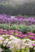 Lines of sedums and asters in the stock beds with yew hedging behind. Waterperry Gardens, Wheatley, Oxfordshire, UK