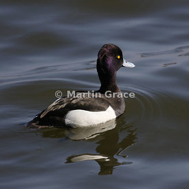Tufted Duck male (Aythya fuligula), Mansfield, Nottinghamshire, England