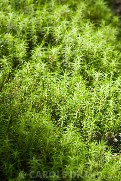 Polytrichum formosum. Windy Hall, Windermere, Cumbria, UK