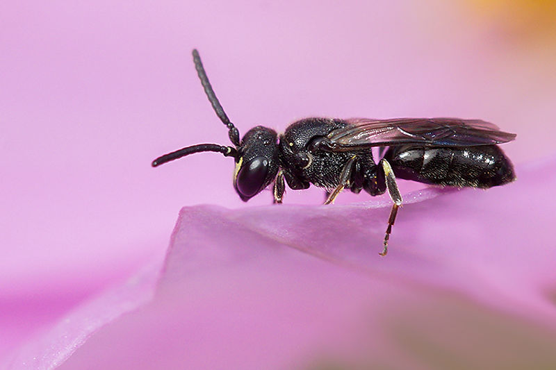 Maskerbij - Hylaeus species