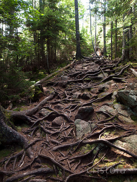 rooty trail in Acadia National Park