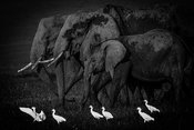 9611-Elephants_and_white_egrets_Masai_Mara_Kenya_2006_Laurent_Baheux