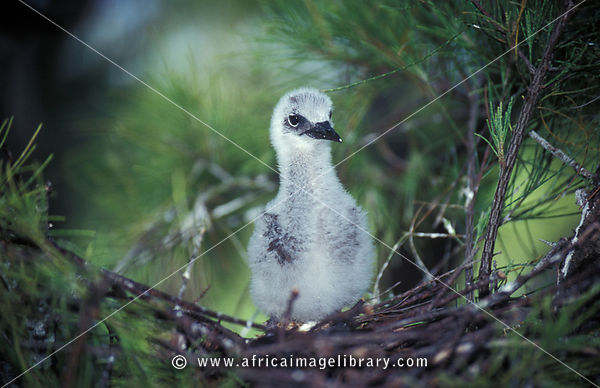 Common noddy chick, Anous stolidus, Ile aux Cocos, Island sanctuary for sea birds, Rodrigues