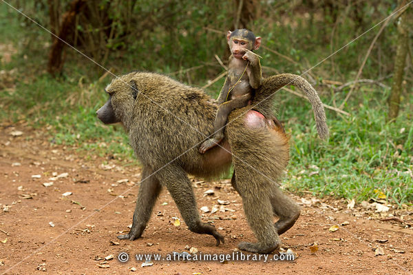 baby Olive baboon riding on its mother's back ( Papio cynocephalus anubis), Nairobi National Park, Nairobi, Kenya