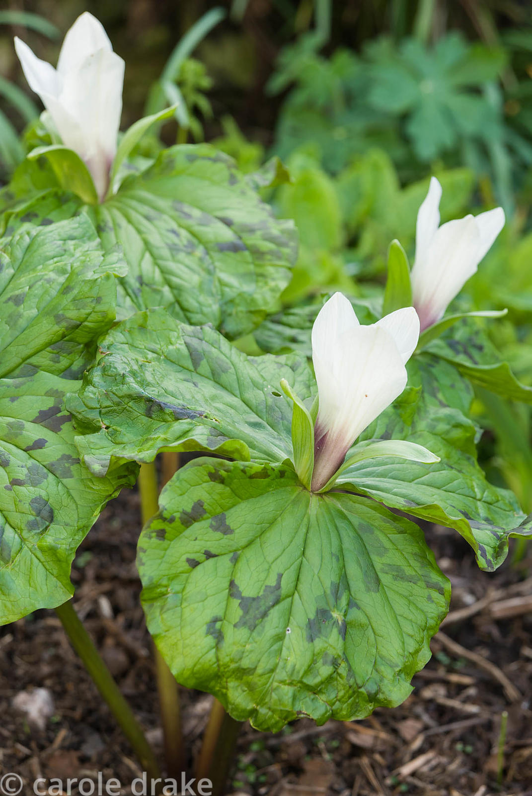 White flowered trilliums. Greencombe Garden, Porlock, Somerset, UK