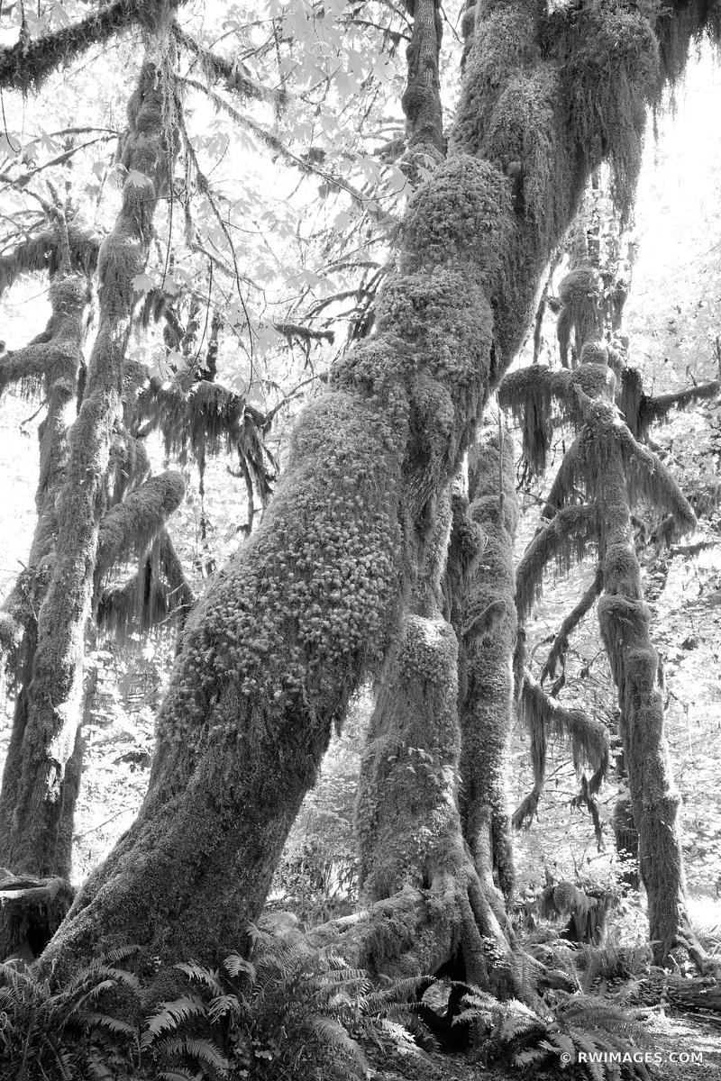HOH RAINFOREST OLYMPIC NATIONAL PARK BLACK AND WHITE VERTICAL