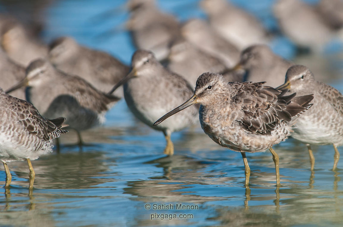 Long-billed Dowitcher, Redwood Shores, CA, USA