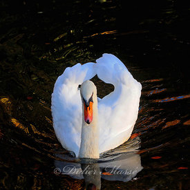 Cygne Chantilly Oise 10/15