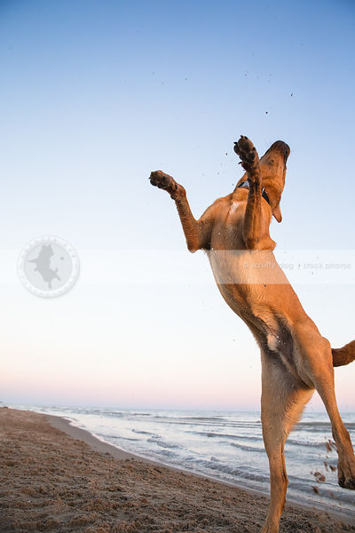tan dog jumping skyward with minimal background