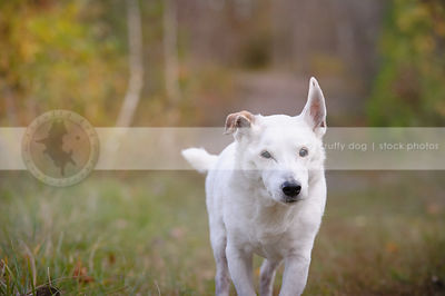 senior white shorthaired dog walking on trail towards camera