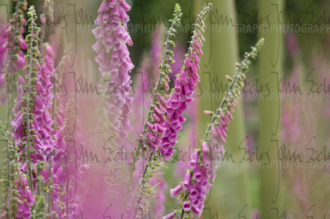 Foxgloves, New Forest, Hampshire, England