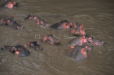 Group of Hippopotamus {Hippopotamus amphibius} in river, Serengeti NP, Tanzania