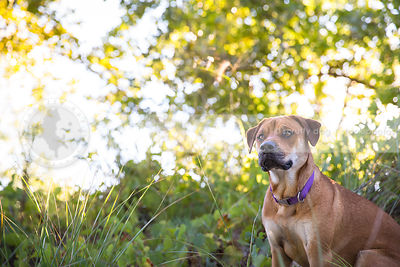 ridgeback mixed breed dog sitting in grasses with sunlight