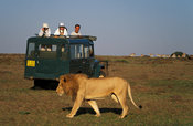 Tourists watching a lion, panthera leo, Maasai Mara National Reserve, Kenya