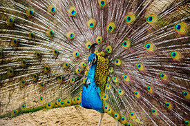 Colourful Peacock in Hanoi Zoo