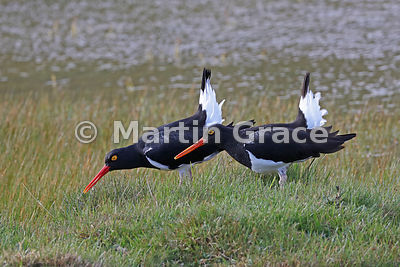 Two Magellanic Oystercatchers displaying (Haematopus leucopodus), Torres del Paine National Park, Patagonia, Chile
