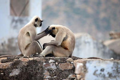Langur monkeys on a rooftop in Pushkar, Rajasthan, India
