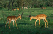 Impalas fighting (Aepyceros melampus), lake Mburo National Park, Uganda