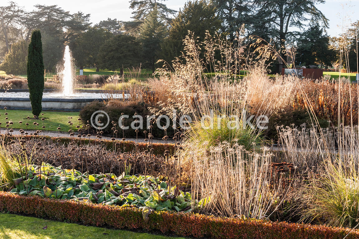 Box edged beds in the Italian Garden are planted with Stipa gigantea, Phlomis russeliana and sedums, with fastigiate Irish ye...