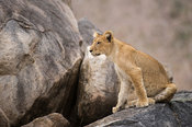Lion cub sitting on a rock (Panthero leo), Ruaha National Park, Tanzania
