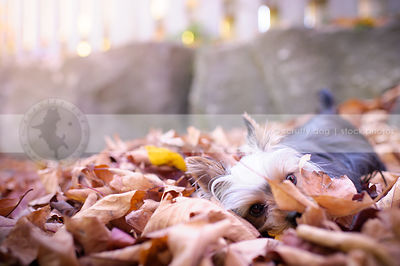 humorous yorkshire terrier dog buried hiding in autumn leaves
