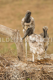 jabiru_stork_nest_close-39