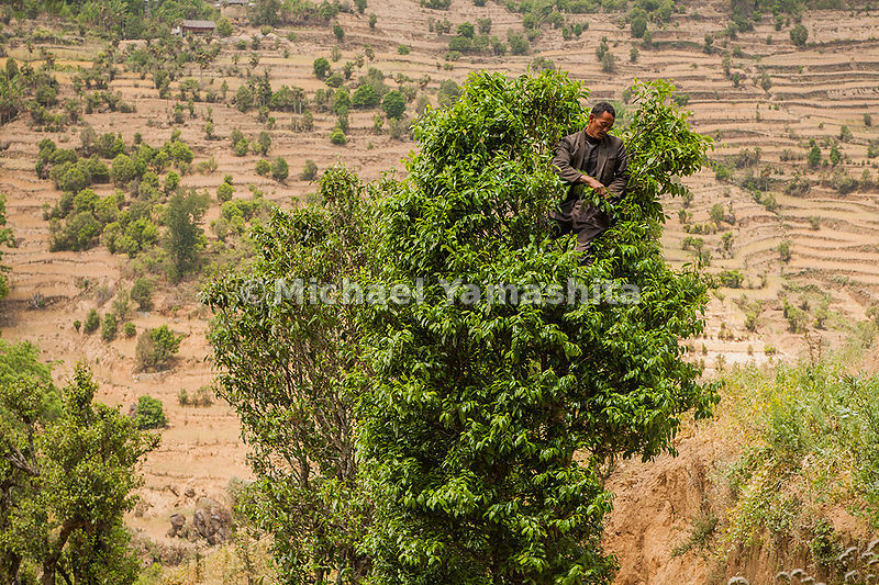 Tea trees grow tall and wild in Yunnan Province. Here a fearless picker balances in the branches of a 1,000-year-old specimen...