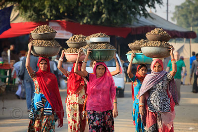 A group of women carry camel dung they've collected to be used as fuel at the Pushkar Camel Mela, Pushkar, India.