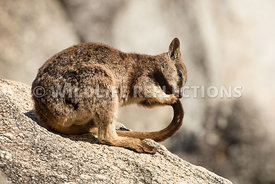 rock_wallaby_mareeba_tail_grooming-9