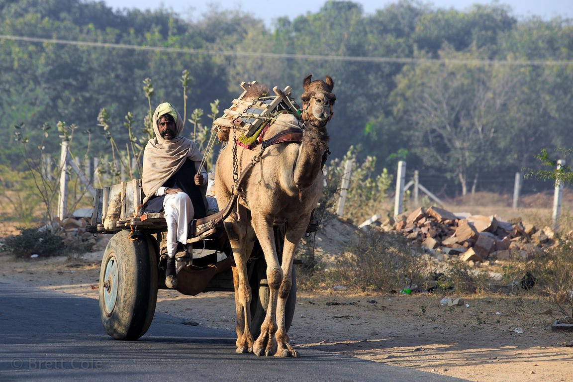 A man drives a camel cart down a desert road in Nedaliya, near Pushkar, Rajasthan, India