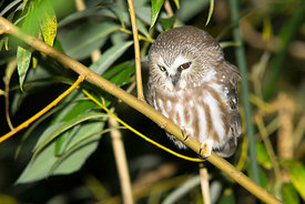 October - Saw-whet Owl