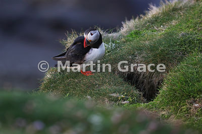 An Atlantic Puffin (Fratercula arctica) basks in evening sunlight outside its nest burrow on the cliffs of Sumburgh Head (RSP...